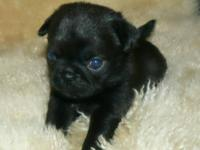 Absolutely adorable tiny loving and smart pugs. Great