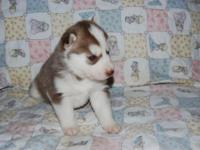 Gorgeous Siberian Husky puppies born upon Oct. 13th.