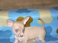 Beautiful AKC Chihuahua Puppies For Sale!!! we've just