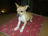 He's a perfect AKC Chihuahua Male Fawn ready to go to a
