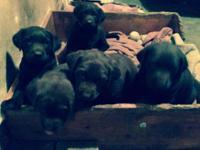 Fantastic AKC Chocolate Lab pups. Born May 9,2014.