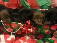 Gorgeous AKC Registered Chocolate and Black Labs