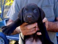 Beautiful AKC Chocolate Labrador Retriever pups! At 7