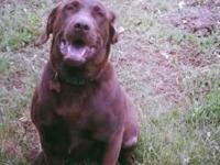 Beautiful AKC Chocolate Lab stud for service $500.00 or