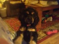 Beautiful 5 month old black and tan cocker lady is