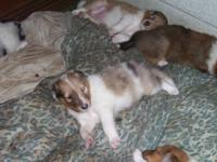 BEAUTIFUL AKC COLLIE PUPPIES 6 Females 2 Males I have a