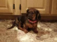 Dachshund female. Five months. Long coat. AKC