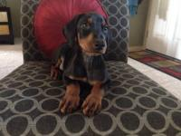 ONLY 3 BLACK/RUST MALES LEFT! Reduced to $600.00. I'M