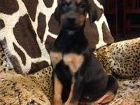 Large AKC Doberman puppies $800 to inside homes only.