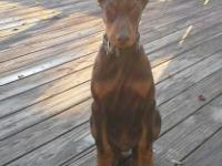 AKC doberman puppies. Complete registration. UTD shots,