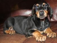 Large AKC Doberman puppy $650 to inside homes only. We
