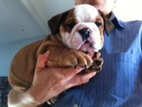 3 female AKC englishbulldog new puppies available. 8