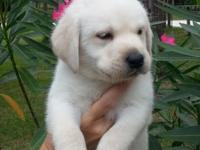 Beautiful AKC English lab pups! Born April 11, 2015 8