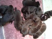 AKC English Lab puppies for sale. Chocolate, Red,