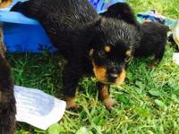 Beautiful female Rottweiler puppy seven weeks old. She