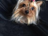 Meet beautiful Stella. She is a gorgeous petite yorkie