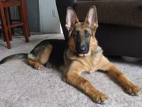 Beautiful German Shepherd for sale! Needs a good home!