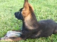 AKC Beautiful Sable German Shepherd Male Puppy.12 weeks
