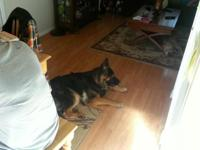 Gorgeous gsd 1.5 years old...birthday may 2 2014. Mom