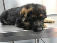 Beautiful Akc German shepherd male puppy available for