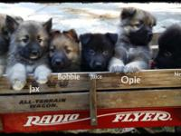 AKC German Shepherd young puppies, UTD on all shots and
