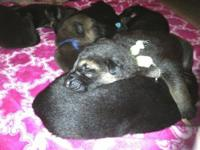 Beautiful and LARGE AKC German Shepherd puppies for