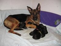 German Shepherd , German Show lines pups 4 Boys/ 5 Girl
