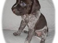 We have 7 adorable GSP puppies! 4 males and 1 liver