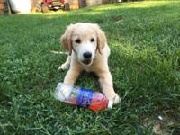 AKC registered Golden Retriever Puppies looking for