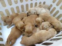 11 BEAUTIFUL Golden Retriever puppies born July the 7th