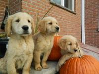 Beautiful AKC Registered Golden Retriever puppies vet