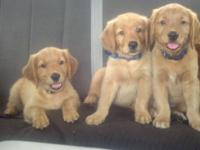 AKC Golden Retriever puppies. Girl's trash has actually