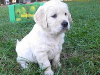 Big, stunning AKC Golden Retriever young puppies born