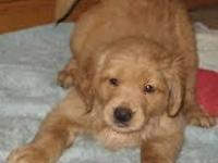 I have a beautiful litter of AKC registered Golden