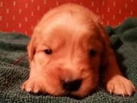 5 males and 2 Female AKC registered Golden Retriever