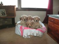 7 beautiful healthy AKC golden retriever puppies. 5