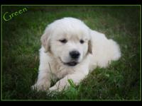 Beautiful Aka registered Golden Retriever puppies for