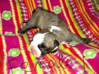 We have a beautiful grandchampion sired litter of