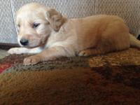 I have three beautiful male golden retriever puppies to