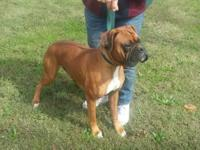 I have left 4 Beautiful half European male Boxers.