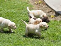 Gorgeous new litter of AKC purebred labrador puppies.