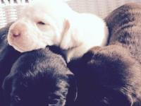 Beautiful male and female yellow and black lab pups for