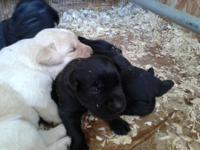 Now accepting deposits for our gorgeous AKC Lab pups.