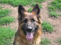 Daisy is a beautiful 2 1/2 year old German shepherd