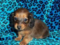 **ONE MALE LEFT** I have a beautiful litter of Longhair