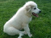 Beautiful male Great Pyrenees puppy for sale. Born