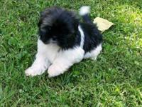 AKC Shih Tzu Puppy. He was born July 1. He has had his