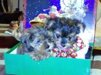 2 BEAUTIFUL AKC REGISTERED TOY YORKSHIRE TERRIOR
