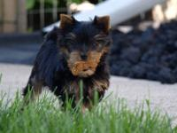 I have a beautiful AKC male yorkie puppy that will be