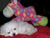 Adorable snow white Maltese puppies with black poins,
